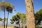 T-142 Stone Pine (Pinus Pinea) in Yirka