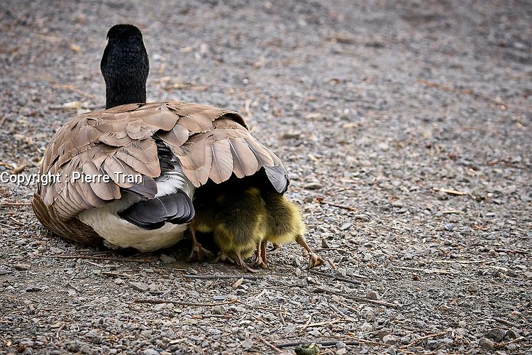 Animaux dans la nature a Montreal et les environs, 2021 - canard et ses petits<br /> <br /> Photo : Pierre Tran - AQP