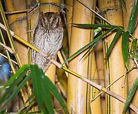 Tropical screech owl, Otus choliba, near its nest in bamboo behind the Hotel Bougainvillea, San Jose, Costa Rica