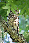 Damon, Texas; a juvenile barred owl sitting on a tree branch in early morning dappled light