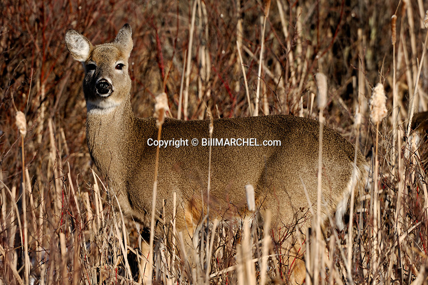 00275-191.09 White-tailed Deer (DIGITAL) doe is in lowland brush and cattails where it was feeding on red-oiser dogwood.  H7L1