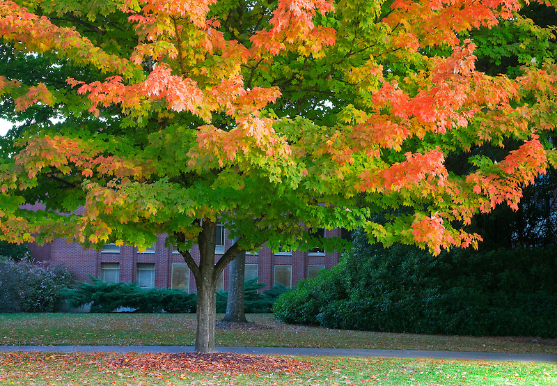 Close up of fall colored tree. Oregon State University.