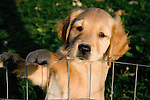 Golden retriever (Canis familiaris) puppy (ies)