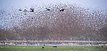 Central Africa , black crowned crane (Balearica pavonina), red-billed quelea (Quelea quelea), African spoonbill (Platalea alba) , white-faced whistling duck (Dendrocygna viduata), saddle-billed stork (Ephippiorhynchus senegalensis) , pink-backed pelican (Pelecanus rufescens),