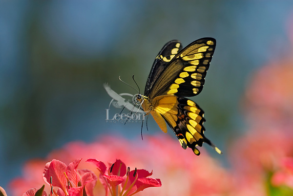 Giant Swallowtail Butterfly (Papilio cresphontes) inflight--about to land and nectar on blossom...