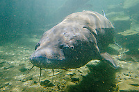 White Sturgeon (Acipenser transmontanus)--largest freshwater fish in North America.  Columbia River, Oregon-Washington.