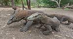 Indonesia Komodo dragon (Varanus komodoensis), also known as the Komodo monitor,