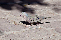 Common Ground-Dove, Loreto, Baja Sur, Mexico