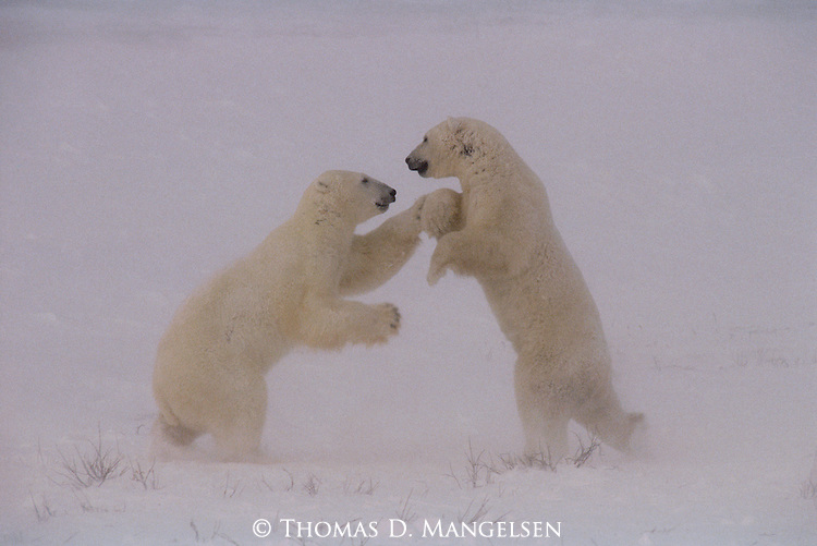 """Taking one step forward and two steps back, a pair of polar bears """"dance"""" their way through a round of play-fighting, passing time as they wait for Hudson Bay to freeze in Wapusk National Park, Manitoba, Canada."""