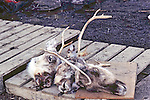 Three Caribou Heads Outside Inupiat Home