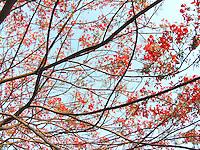 Gulmohar branches against the summer sky