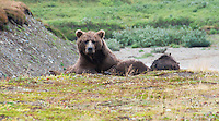 A grizzly bear sow with her cubs in Katmai National Park.