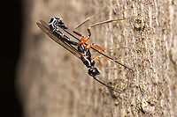 A female Ichneumon Wasp (Podoschistus vittifrons) oviposits (lays eggs) in the larvae of wood wasps in the trunk of a dead American Beech (Fagus grandifolia) tree.  Podoschistus vittifrons parasitizes wood-boring beetles.