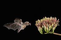 Mexican Long-tongued Bat, Choeronycteris mexicana, adult in flight at night feeding on Agave Blossom (Agave spp.),Tucson, Arizona, USA, September 2006
