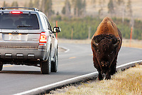 Male bison walking next to traffic on park road in autumn near Swan Lake, Yellowstone National Park, Wyoming, USA