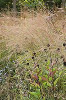 Little blue stem (Schizachyrium scoparium) native grass in Wisconsin meadow garden in fall with Echinacea seedheads, Neil Diboll design