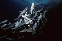 Whitetip Reef Sharks (Triaenodon obesus) following scent trail in water column, Cocos Island, Costa Rica - Pacific Ocean