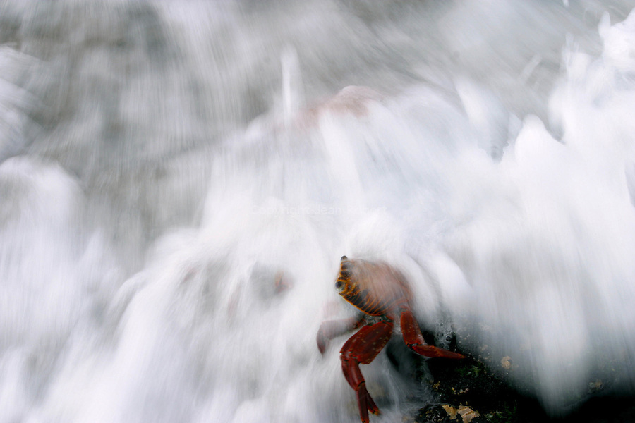 Sally lightfoot crab in the waves<br /> Crabe (Sally lightfoot Crab (grapsus grapsus)) dans les vagues