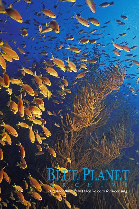 anthias, Red Sea