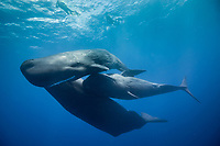 sperm whale, Physeter macrocephalus, socializing, Dominica, Caribbean Sea, Atlantic Ocean