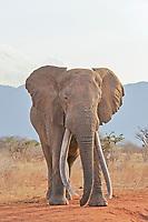 African Elephant (Loxodonta africana), bull, Tsavo East National Park, Kenya, Africa