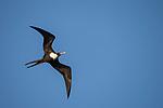 Manuk Island, Banda Sea, Indonesia; a frigatebird flying overhead against a blue sky