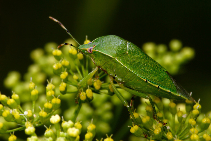 The southern green shield bug is believed to have originated in Ethiopia. Its distribution now includes Europe, Asia, Africa and North and South America.