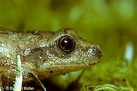 FR16-001b  Spring Peeper Tree Frog -  Pseudacris crucifer, formerly Hyla crucifer