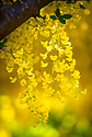 15/05/19<br /> <br /> Blooming two weeks earlier than normal, the UK's longest and oldest Laburnum arch has bust into flower at the National Trust's Bodnant Garden near Conwy, North Wales.<br /> <br /> The 180 ft long arch is made from 64 plants. In January two of Bodnant's gardeners train the news shoots tying them to the metal frame using 20,000 pieces of string, with all the knots facing the same direction - a job that takes three to four weeks. <br /> <br /> Then it takes two weeks for them to deadhead after flowering finishes in late June before another four to six weeks pruning in winter.<br /> <br /> The laburnum arch is the most visited, photographed, Facebooked and 'selfied' feature of Bodnant Garden – with around 50,000 visitors in the 3 weeks it's in flower.<br /> <br /> It normally flowers late May into early June. Like other plants it's early this year. It started to flower late April (Easter weekend) – a month early – then stalled, and has now started again. <br /> <br /> The yellow spring spectacle was created by garden owner Henry Pochin in 1880.<br /> <br /> All Rights Reserved, F Stop Press Ltd +44 (0)7765 242650  www.fstoppress.com rod@fstoppress.com