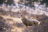 Mule Deer, Black-tailed Deer (Odocoileus hemionus), buck after snowfall, Colorado, USA