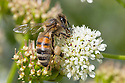 Honey Bee {Apis mellifera} worker feeding on umbellifer flowers. Devon, UK. June.