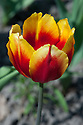 Tulip 'Keizerskroon' (Single Early Group), late April. One of the oldest of all cultivated tulips, it dates back to 1750.