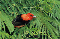 Scarlet Tanager, Piranga olivacea,male,South Padre Island, Texas, USA, May 2005