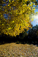 Sun shining through yellow leaves on the ground and on a tree