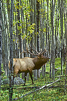 Rocky Mountain Bull elk bugling in aspen forest, September, Northern Rockies.