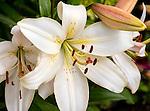 Oriental hybird lily 'Ariosto'