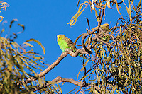 Budgerigar, Normanton - Cloncurry road, Queensland, Australia