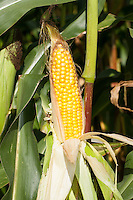 Mais, Maiskolben, Maisanbau, Mais-Anbau, auf Feld, Acker, Zea mays, maize, corn, mealie, corncob, corn cob, maize cob, maize-cob, corn ear, corn-on-the-cob