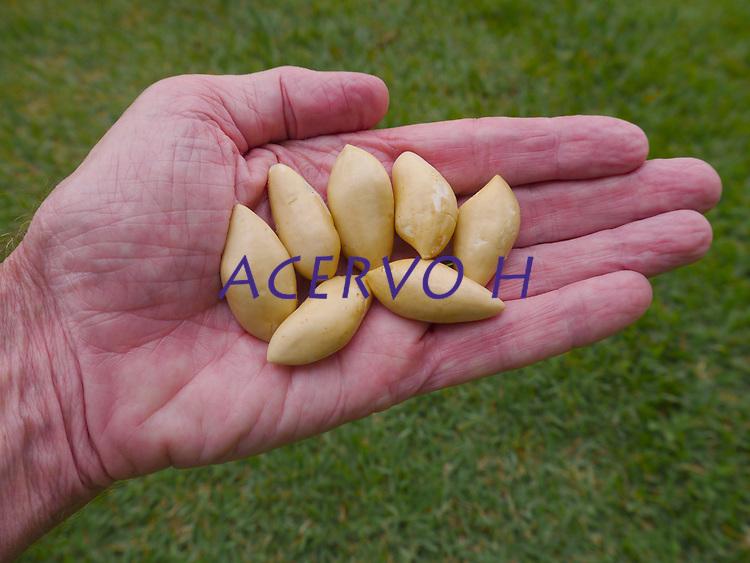 Castanha-sapucaia (Lecythis pisonis) familia Lecythidaceae.<br /> Foto Eric Stoner