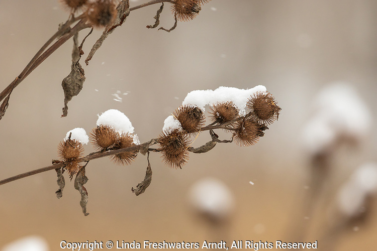 Snow-covered burdock burrs in northern Wisconsin.