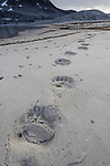 Foot prints of adult polar bear (Ursus maritimus) across open beach. No ice, thaw, climate change, global warming. Woodfjorden, northern Spitsbergen, Svalbard, Arctic Norway.
