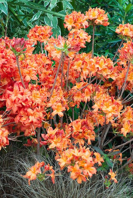 Rhododendron Satan (Deciduous Azalea) in spring bloom in vivid red and orange colors