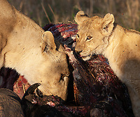 Lions killed a buffalo on the road in the northern Serengeti prior to our arrival. Lots of action there!