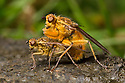 Yellow Dungflies {Scathophaga stercoraria} mating on sheep dung. Worcestershire, UK. April.