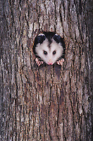 Virginia Opossum, Didelphis virginiana, adult at night looking out of tree cavity, Raleigh, Wake County, North Carolina, USA