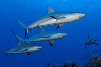 Carribean reef sharks, Carcharhinus perezii, in the Bahamas, Atlantic.