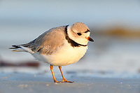 Piping Plover (Charadrius melodus) in breeding plumage. Bunche Beach Preserve, Florida. March.