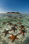 Horned sea star (Protoreaster nodosus) also called chocolate chip starfish in the shallow sandy area split level with an island.