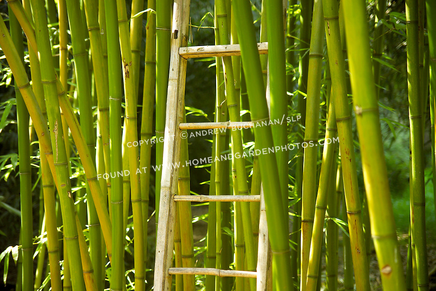 """Tall-growing Rubro bambooo, Phyllostachys rubromarginata, can reach 55' tall in its native habitat, with each culm, or stalk, reaching nearly 3"""" in diameter.  It is hardy to USDA zone 6, prefers full sun, and is drought tolerant when established.  Rubro bamboo is noted for the quality of its wood, as evidenced here by the ladder made from its stalks, and its shoots are edible and tender."""