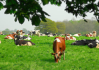Grazing cows in Cheshire.